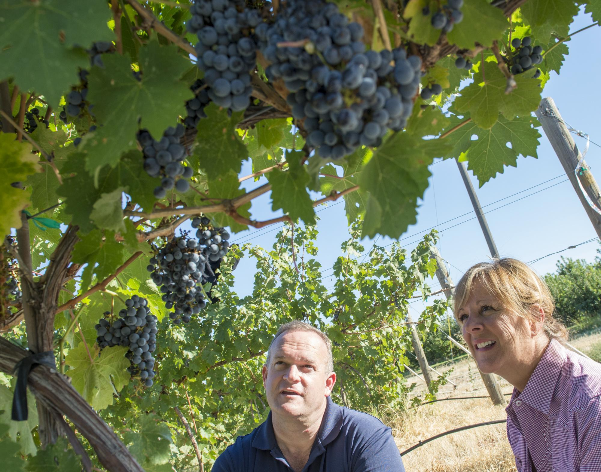 Researchers viewing grapes